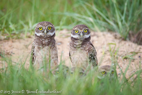Five Burrowing Owlets