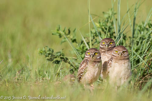 Burrowing Owlets at Burrow