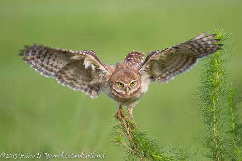 Burrowing Owl Learning to Fly