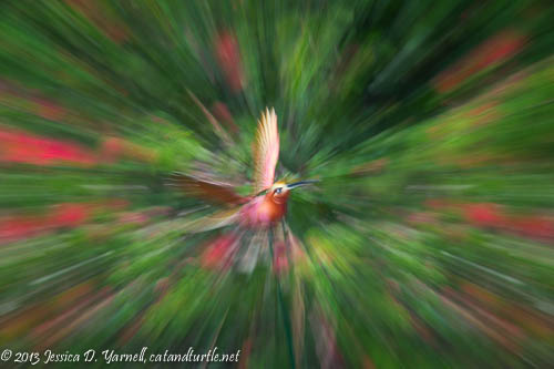 Hummingbird Zoom