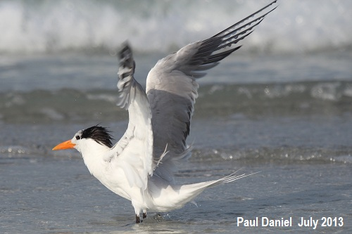 Pauls_Royal_Tern