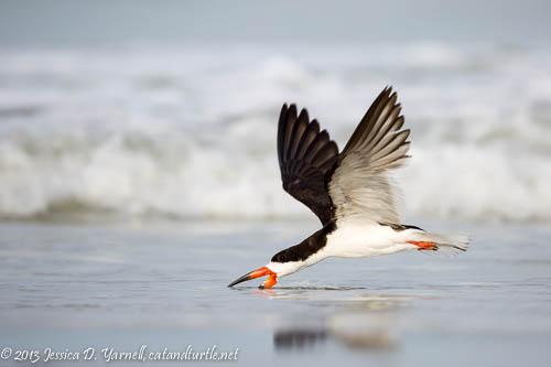 Adult Black Skimmer Skimming