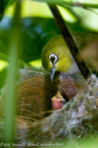 Japanese White-Eyes at Nest