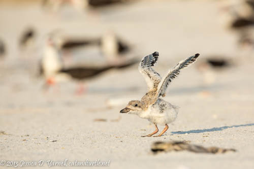 Learning to Fly_Indian Rocks Beach_201307271_copyrightJessYarnell