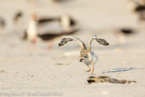 Learning to Fly_Indian Rocks Beach_201307273_copyrightJessYarnell