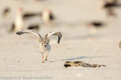 Learning to Fly_Indian Rocks Beach_201307275_copyrightJessYarnell