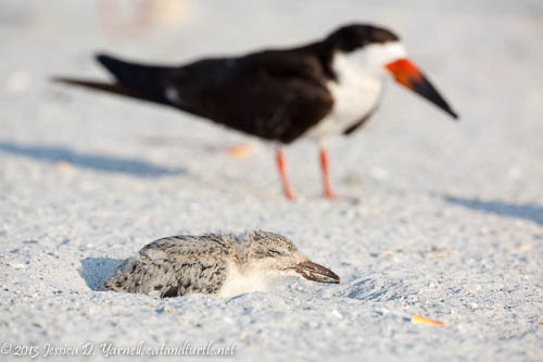 Mom and Two-Week-Old Black Skimmer