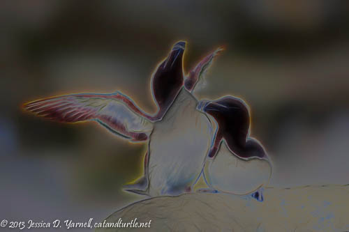Razorbill Courtship Fractalized Again