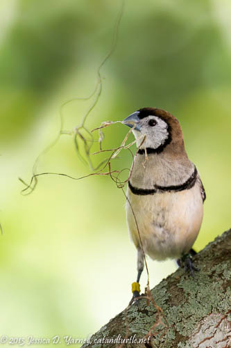Owl Finch with Nesting Material