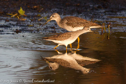 Greater Yellowlegs and Lesser Yellowlegs