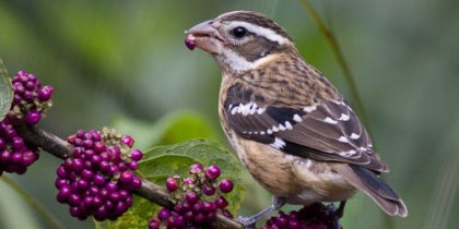 Rose-Breasted Grosbeak (Juvenile)
