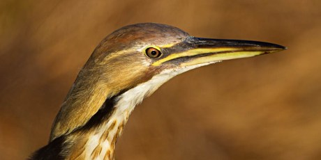 American Bittern - Judge's Favorite in the 2012 Birds as Art International Photography Contest
