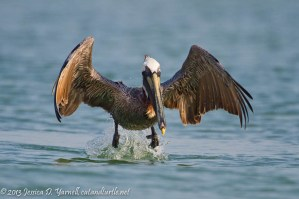 Brown Pelican Take-Off
