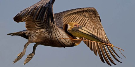 Brown Pelican with Nesting Material