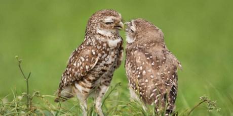 Burrowing Owl Kiss