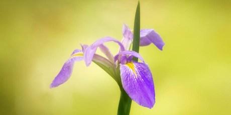 Dixie Iris