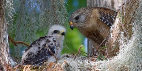 Red-Shouldered Hawk Nest