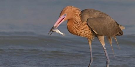 Reddish Egret with Fish
