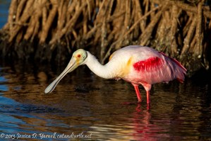 Roseate Spoonbill by Mangrove