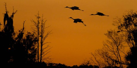Sandhill Crane Sunset Takeoff