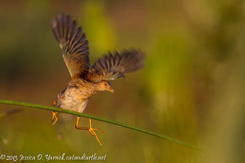 Juvenile Purple Gallinule
