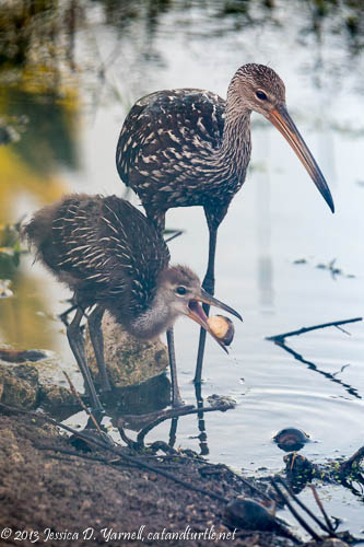 Limpkin Chick Learning to Eat Apple Snails