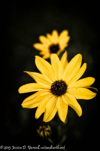 Swamp Sunflower Close-up
