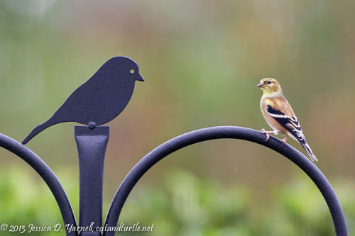 First of Fall Goldfinch
