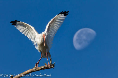 White Ibis on Top of the World!