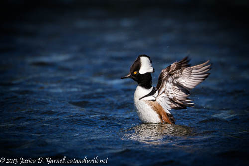 Hooded Merganser Wing Flap