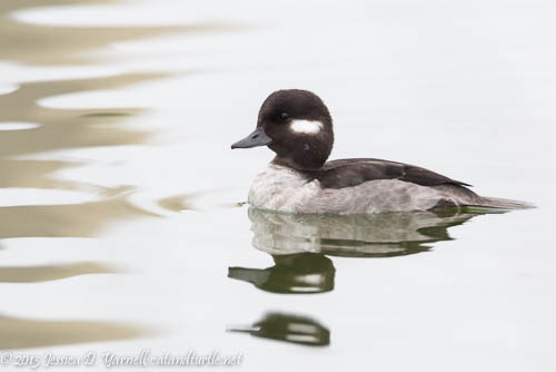 Female Bufflehead Up Close!