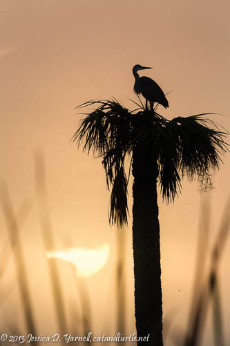 Nesting Great Blue Heron sunrise