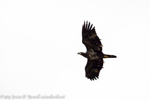 Juvenile Bald Eagle (Second Year)