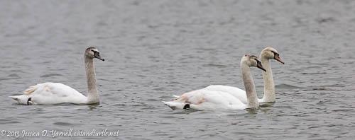 Juvenile Mute Swans at Lake Morton