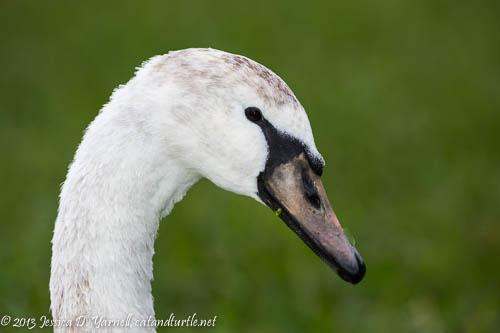 Juvie Mute Swan Head Shot