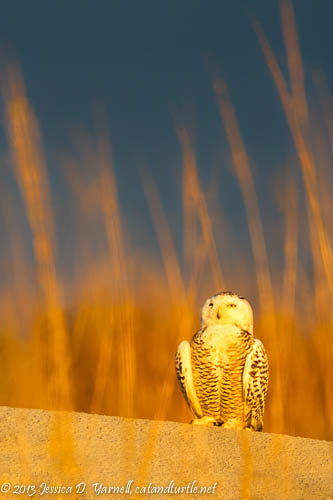 Snowy Owl in Florida!