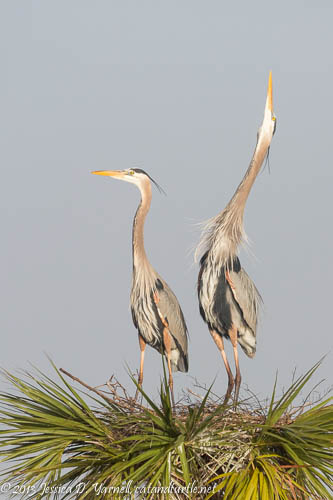 Great Blue Heron Courtship Display