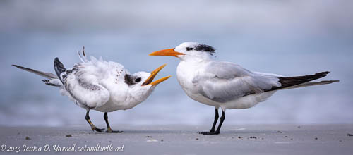 Begging Juvenile Royal Tern