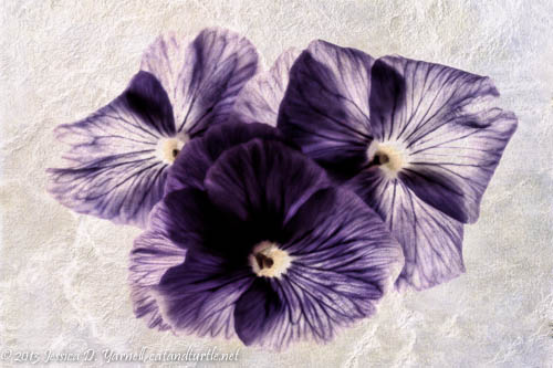 Three Pansies and a Texture