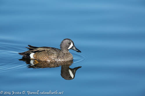 Blue-winged Teal (Drake)