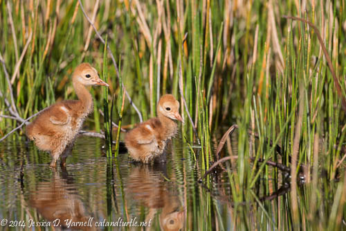 Sandhill Crane Colts In the Reeds