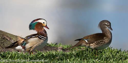 Mandarin Duck Pair