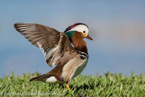 Mandarin Duck Wing Flap