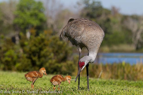 Mom Sandhill Crane with her Two Colts