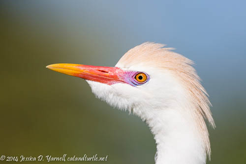 Cattle Egret Showing Off His Colors