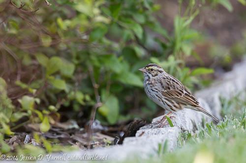 Our First Savannah Sparrow