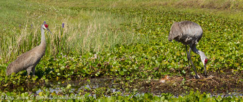 The Sandhill Crane Family in the Retention Pond