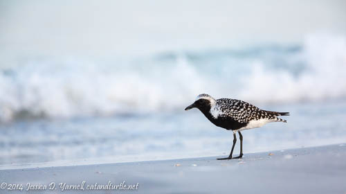 Black-bellied Plover by the Waves