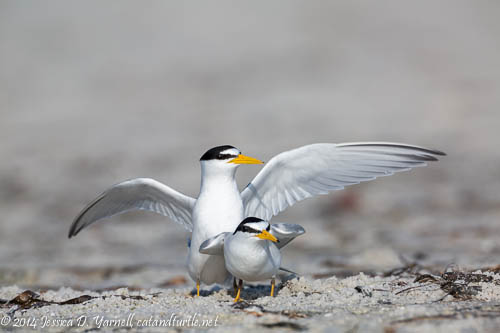 Least Tern Mating Dance