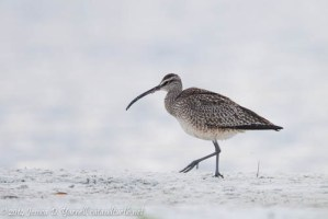 My First Whimbrel!